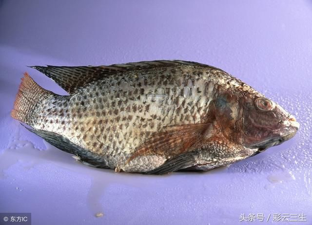 一亩鱼塘能养多少罗非鱼,罗非鱼养殖密度