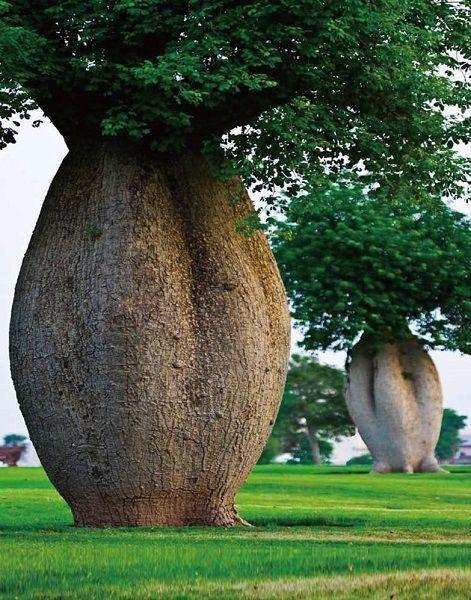 在荒漠探险中,贝爷看到这棵树肯定会乐坏的!