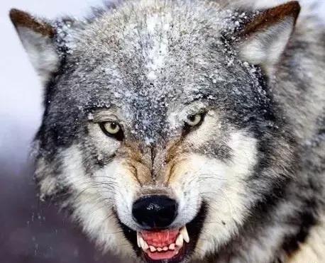 狼行千里吃肉,马行千里吃草